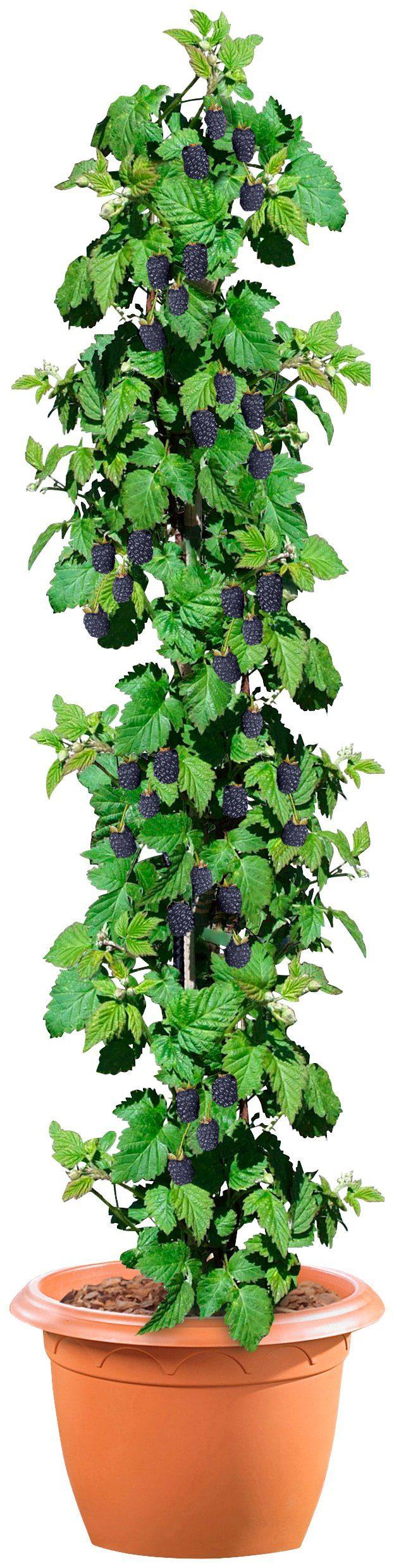Brombeere »Black Satin«, 40 cm