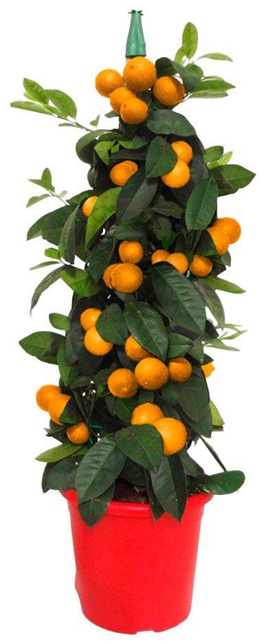 obst zitruss ule orange 70 cm online kaufen otto. Black Bedroom Furniture Sets. Home Design Ideas