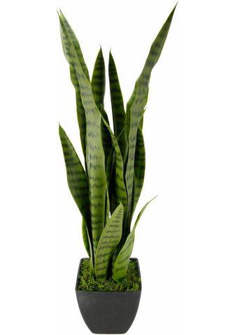 Dirbtinis augalas »Senseverie«
