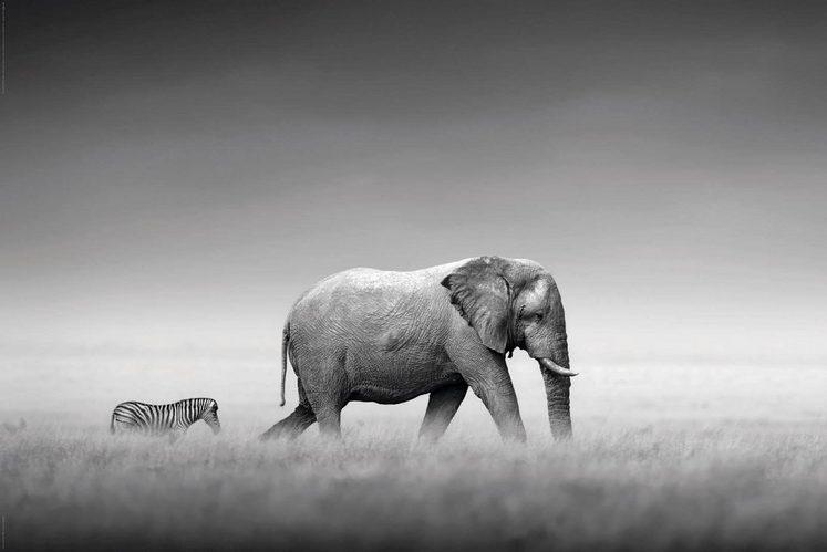 Home affaire Deco-Panel »Kings of Nature - elephant«, Tiermotiv, 90/60 cm