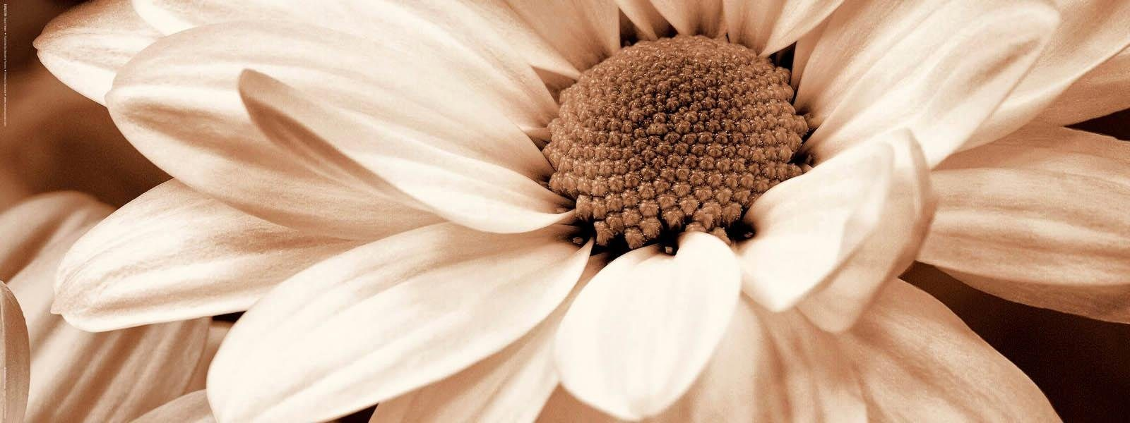 INOSIGN Deco Board »Sepia Flower«, 80/30 cm