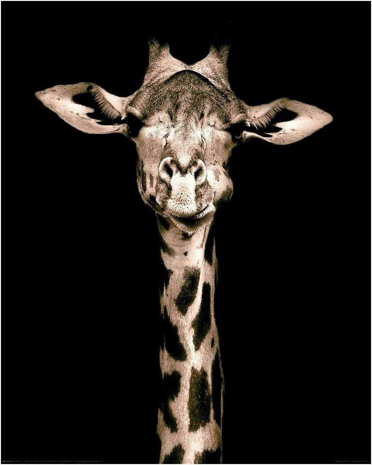 Home affaire Deco Panel »Giraffe«, 40/50 cm in schwarz/weiß