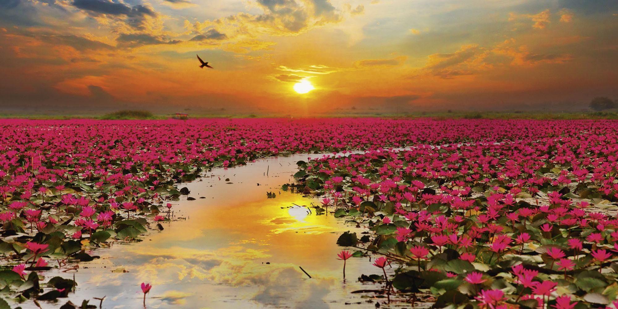 Home affaire Glasbild »S. Plumson: Sonnenschein blühende Lotusblume in Thailand«, See, Blumen, 100/50 cm