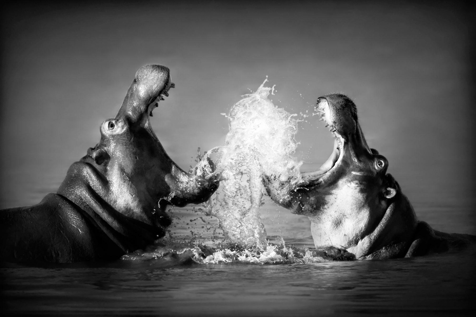 Acrylglasbild »Nilpferd« 60/40 cm