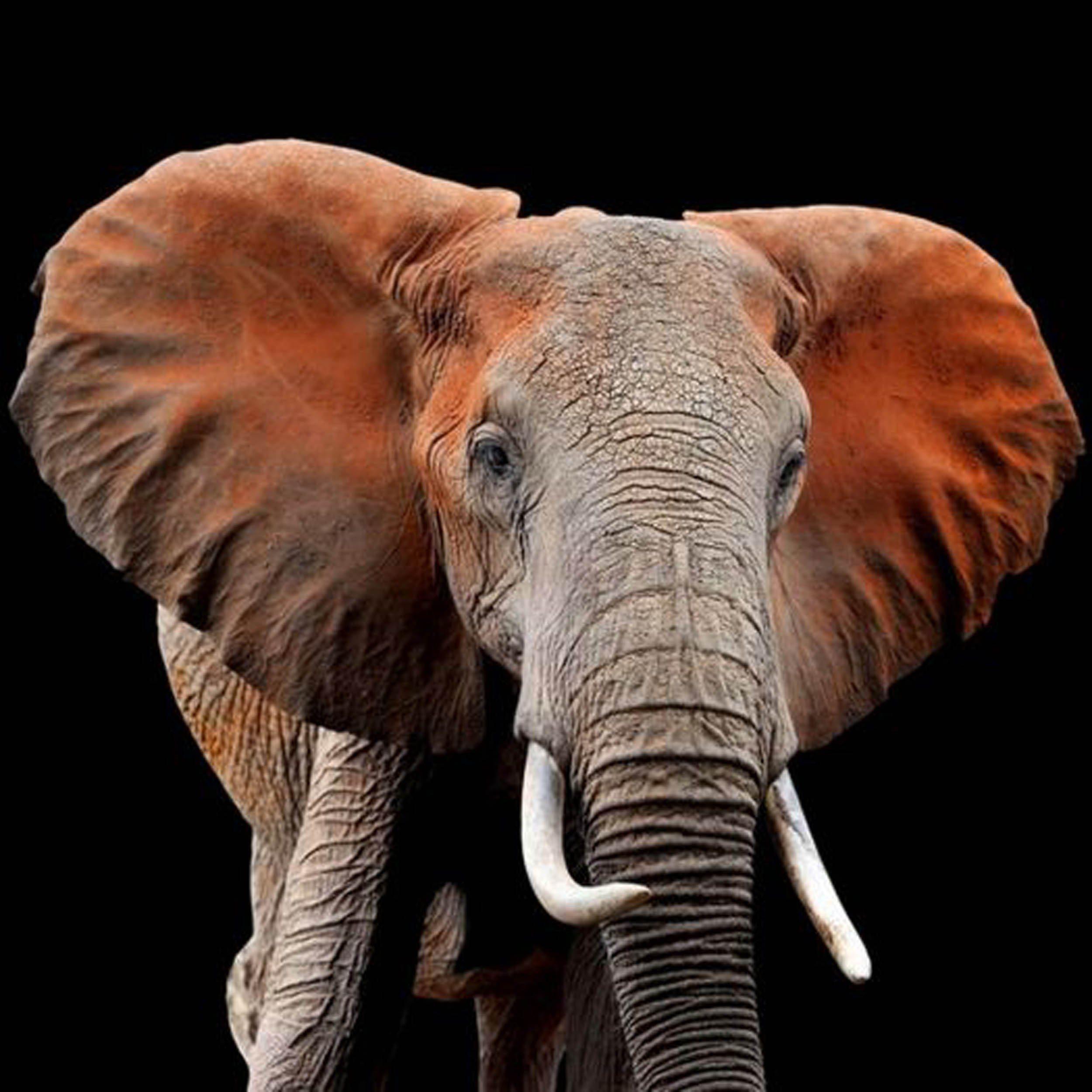 HTI-Living Bild »Elefant«
