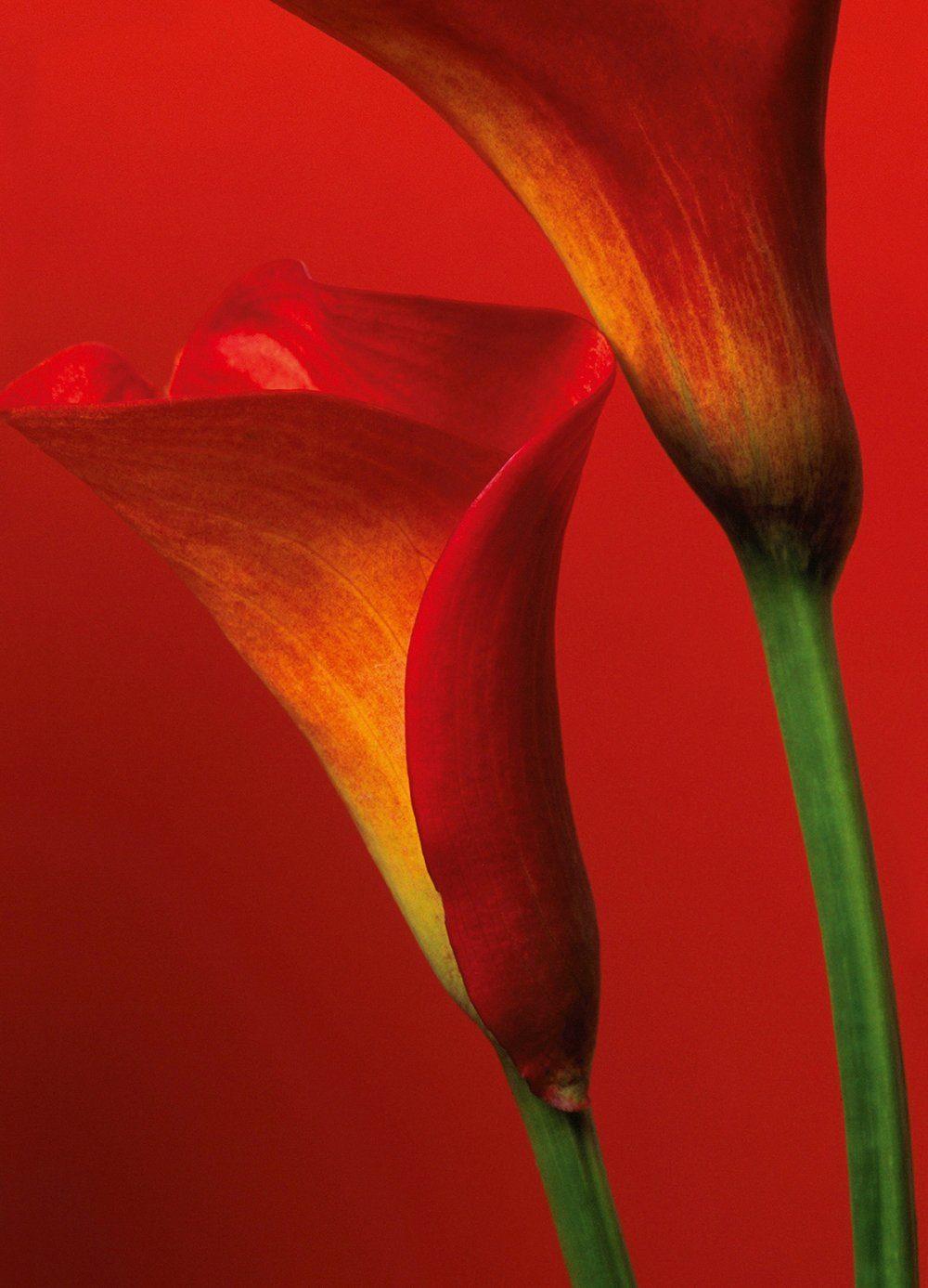 Fototapete »Red Calla Lilies«, 4-teilig, 183x254 cm