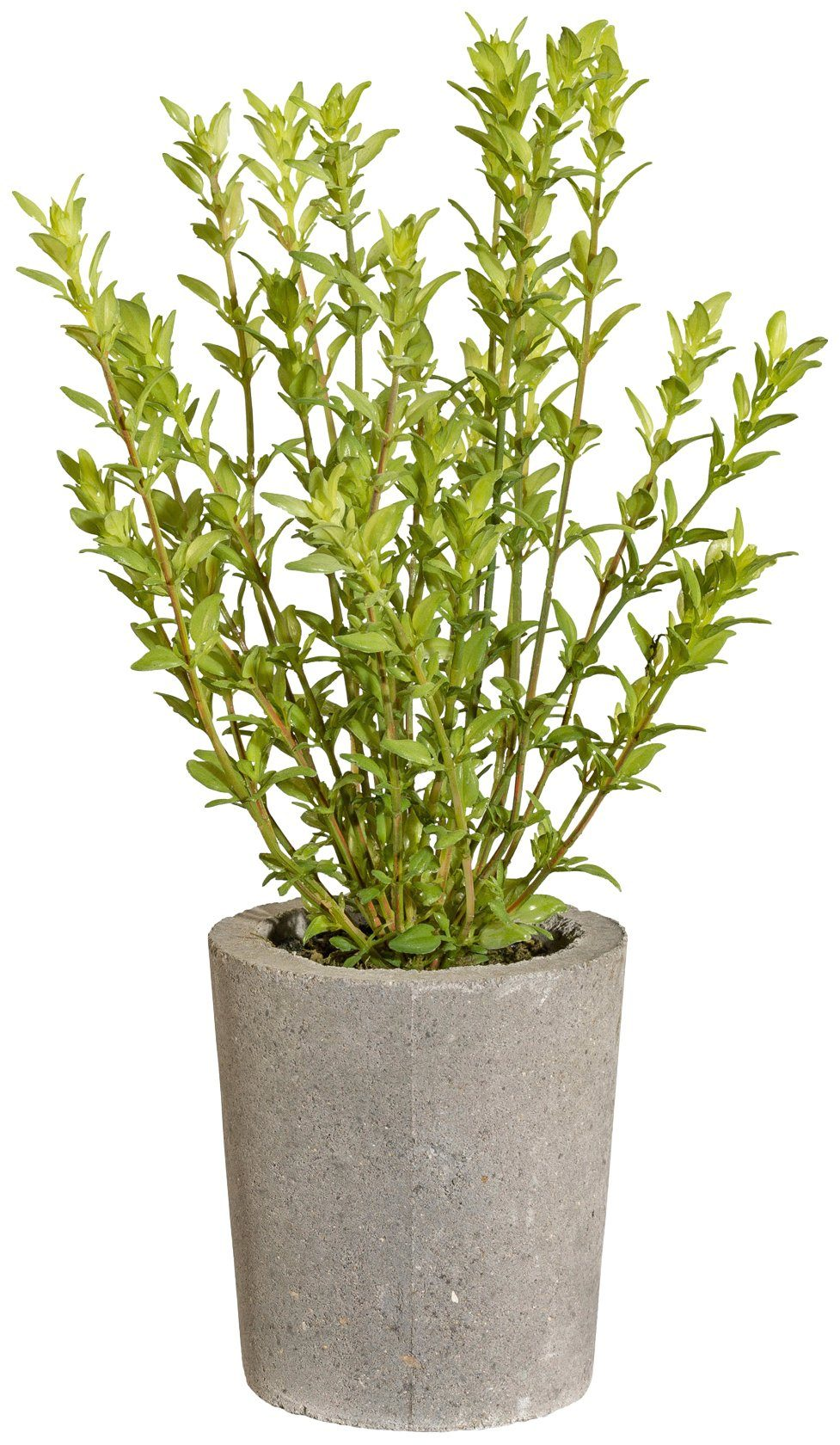 Kunstpflanze »Thymian«, im Zementtopf, Höhe 35 cm