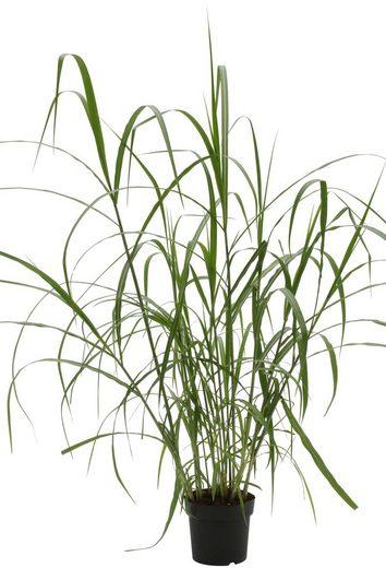 BCM Gräser »Chinaschilf x gigantheus« Spar-Set, Lieferhöhe ca. 60 cm, 3 Pflanzen