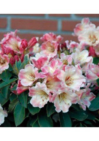 BCM Hecken »Rhododendron Gerstenkorn«