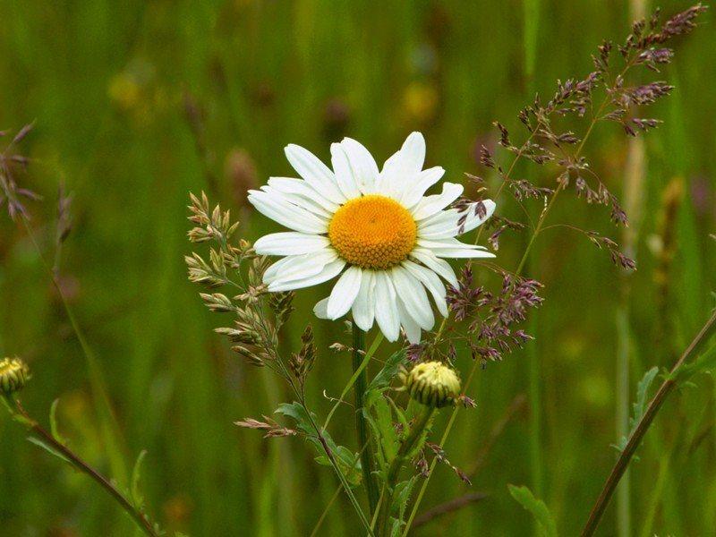 Artland Poster, Leinwandbild »Blüte Margerite Wiese Blumen Foto« | Dekoration > Bilder und Rahmen > Poster | Kiefernholz | Artland