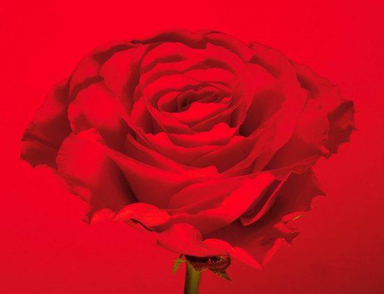 Fototapete »rote-Rose«, mehrfarbig, floral, FSC®