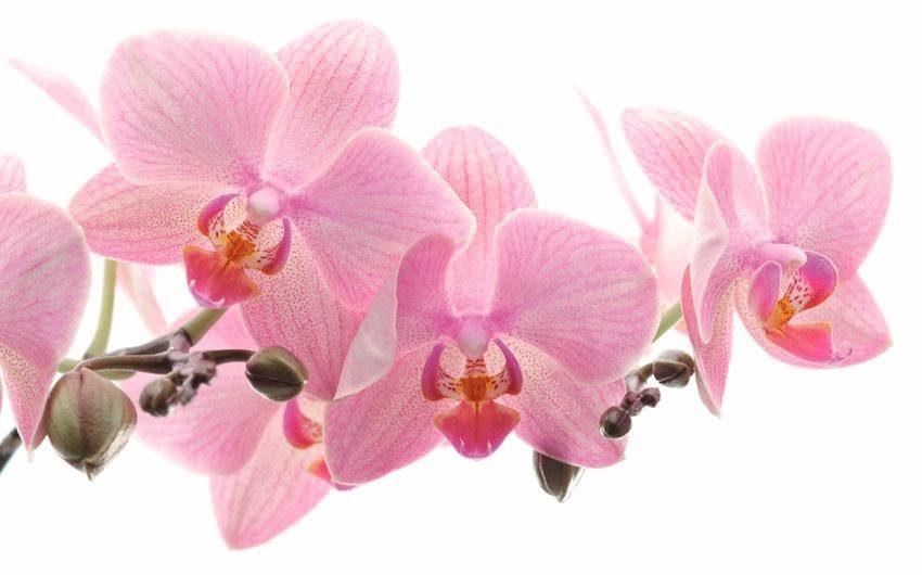 Fototapete, Rasch, »Orchidee«