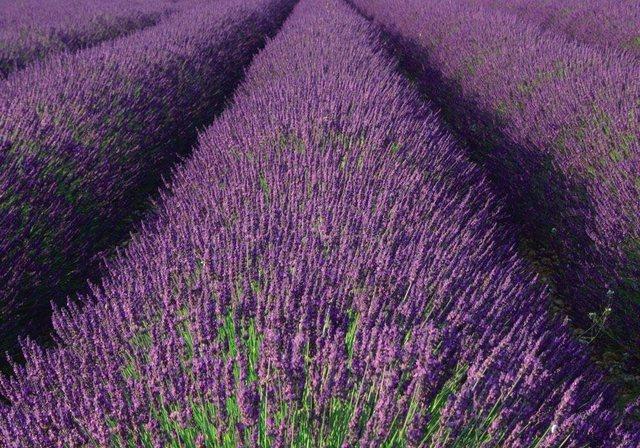 Fototapete Rasch  Lavendel bunt,mehrfarbig | 04000441890204