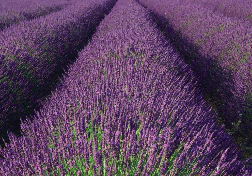 Fototapete »Lavendel«, mehrfarbig, FSC®, RAL-Gütezeichen