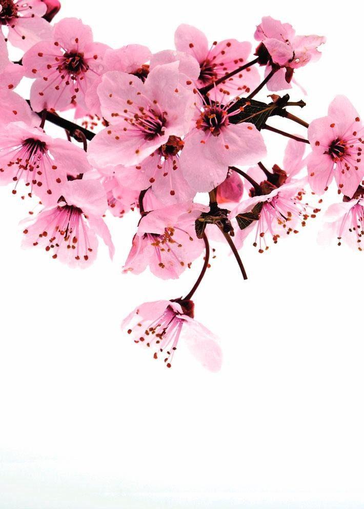Fototapete, Rasch, »rosa Blüte« - broschei