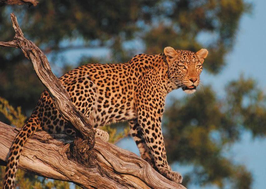Fototapete, Rasch, »Leopard«