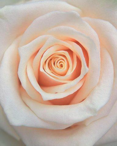 Fototapete »Rose hell«, mehrfarbig, floral, FSC®, RAL-Gütezeichen