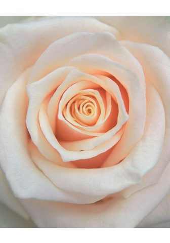 RASCH Фотообои »Rose hell« mehrf...