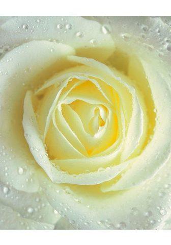 RASCH Фотообои »Rose hellgelb« m...