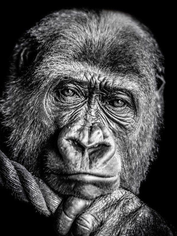 Artland Poster oder Leinwandbild »Gorilla Tiere Wildtiere Affe Foto«