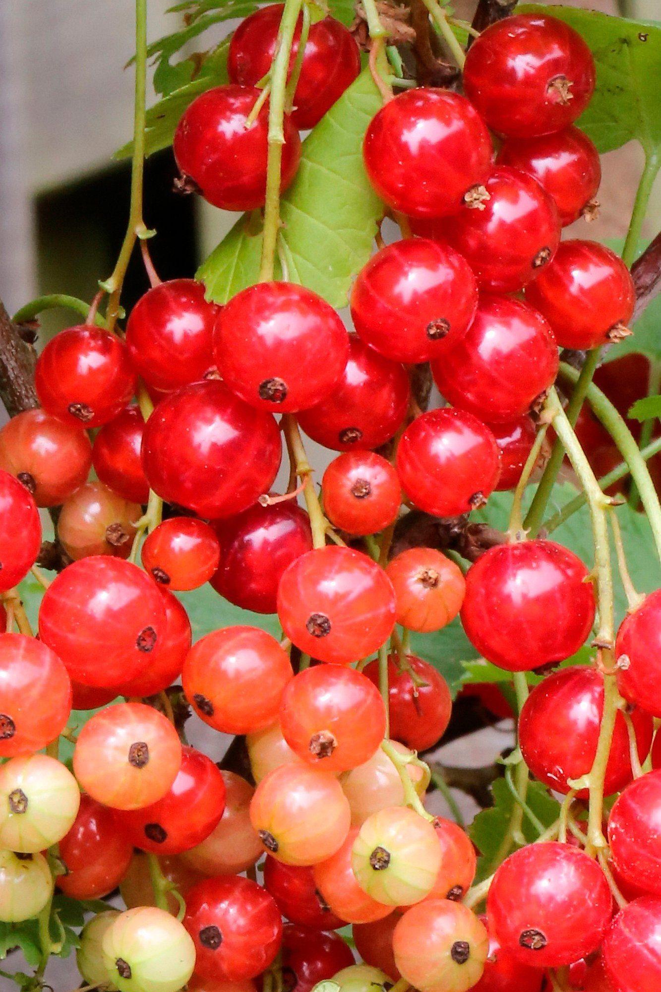 BCM Säulenobst »Rote Johannisbeere Rolan«, Höhe: 50 cm, 2 Pflanzen