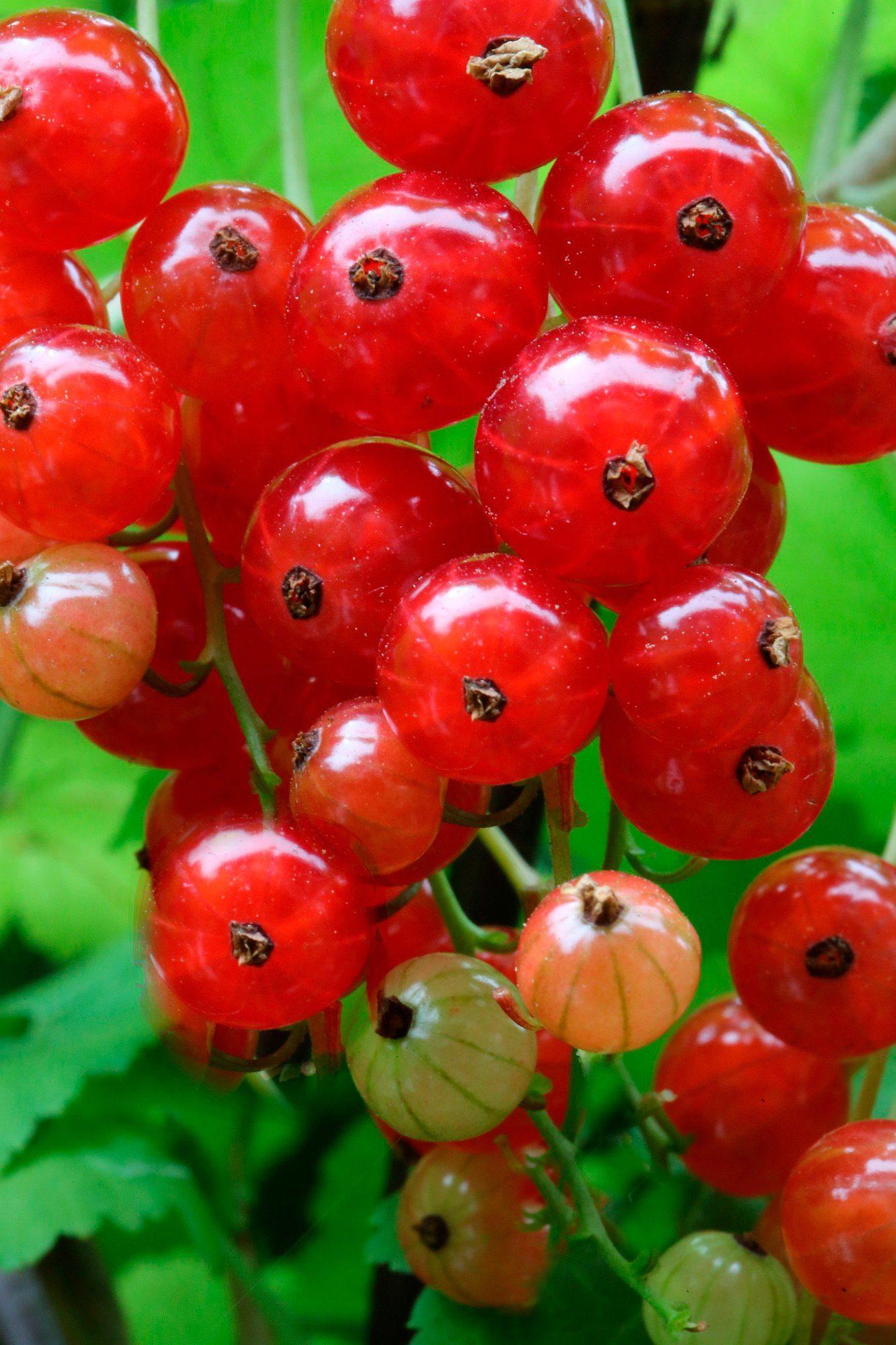 BCM Säulenobst »Rote Johannisbeere Red Lake«, Höhe: 50 cm, 2 Pflanzen