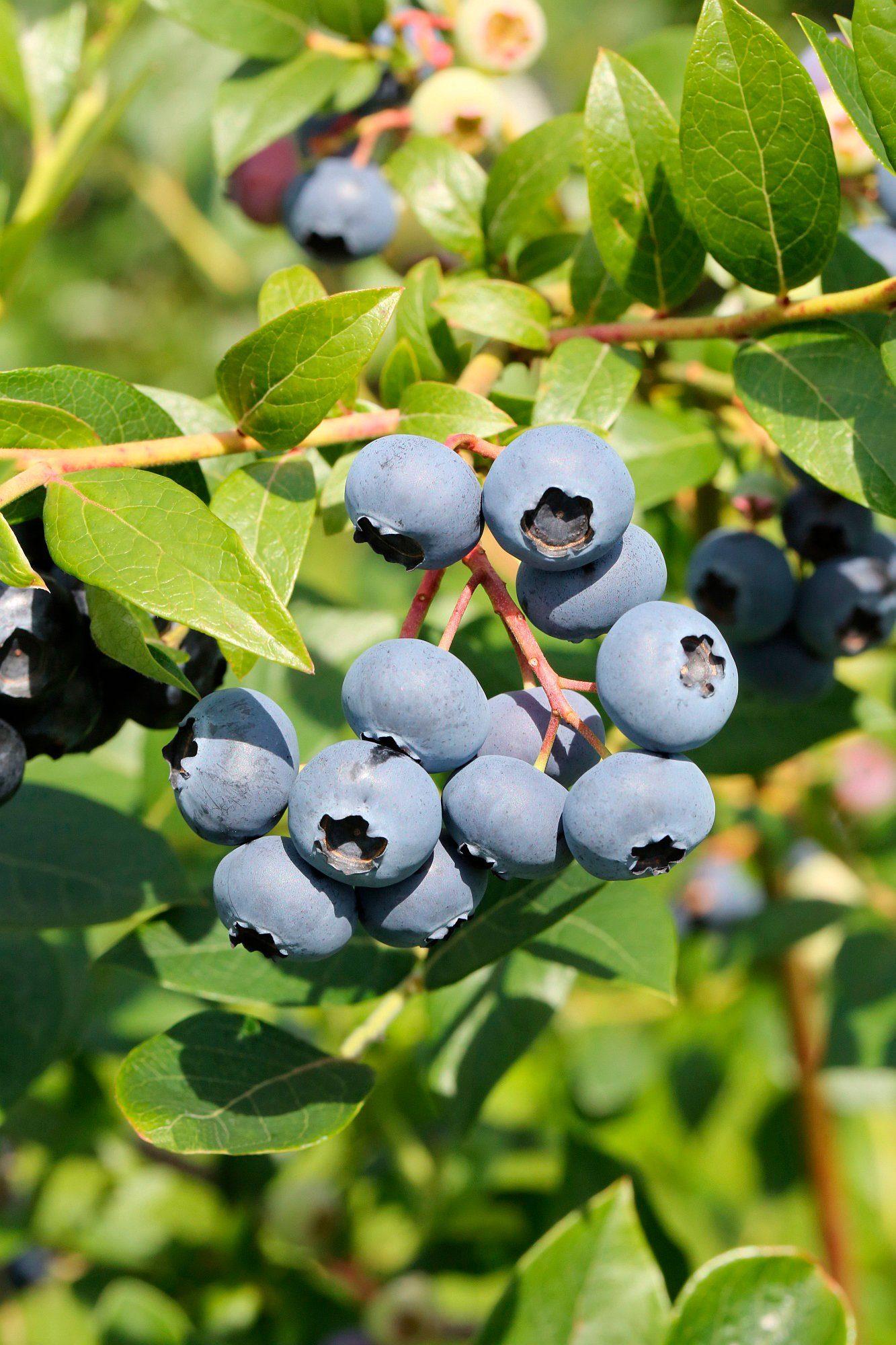 BCM Heidelbeere »Bluejay«, Höhe: 30-40 cm, 2 Pflanzen