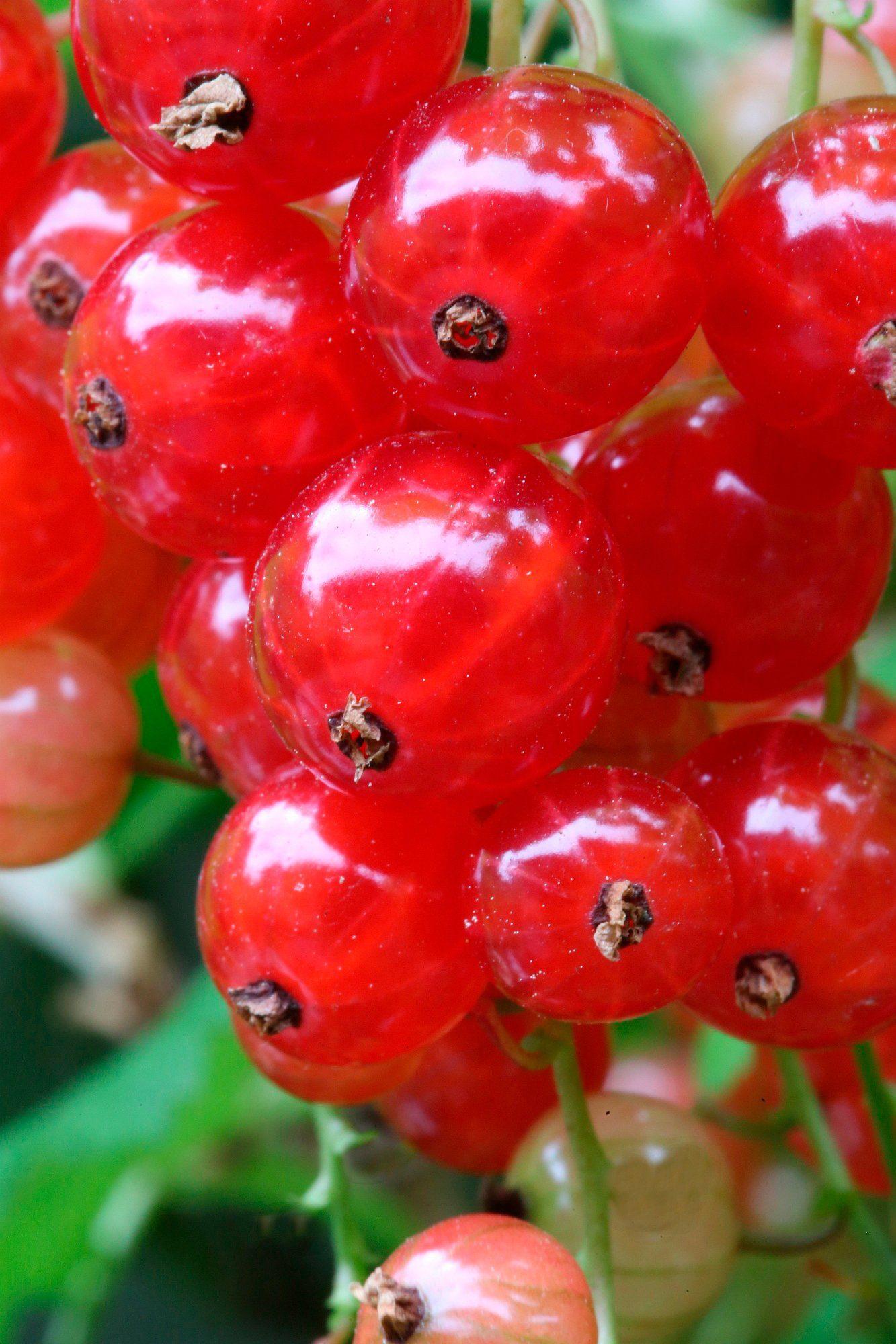 BCM Säulenobst »Rote Johannisbeere Red Poll«, Höhe: 50 cm, 2 Pflanzen