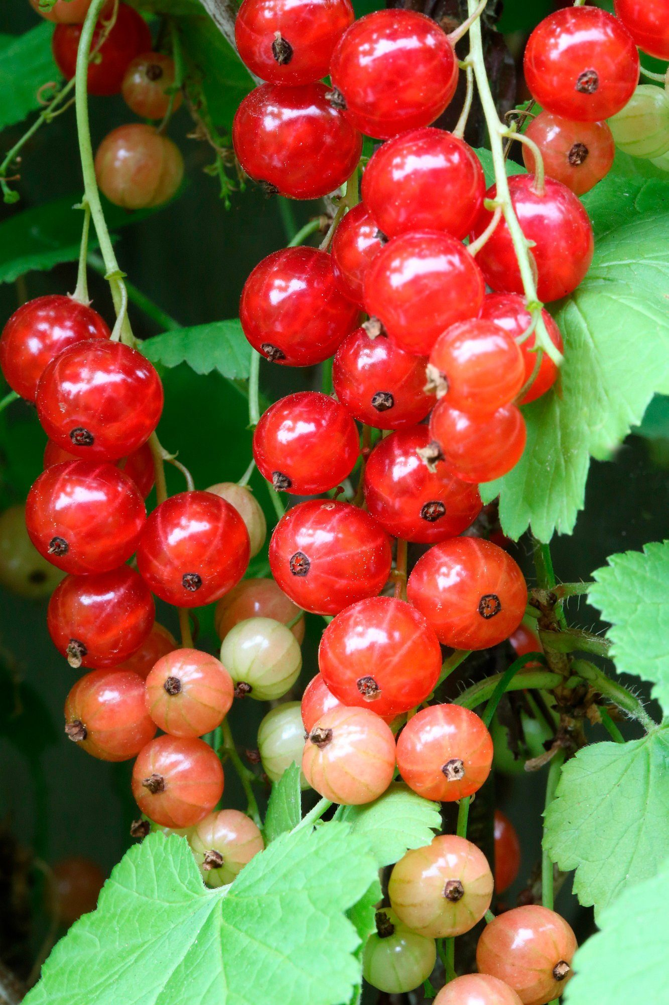 BCM Säulenobst »Rote Johannisbeere Rondom«, Höhe: 50 cm, 2 Pflanzen