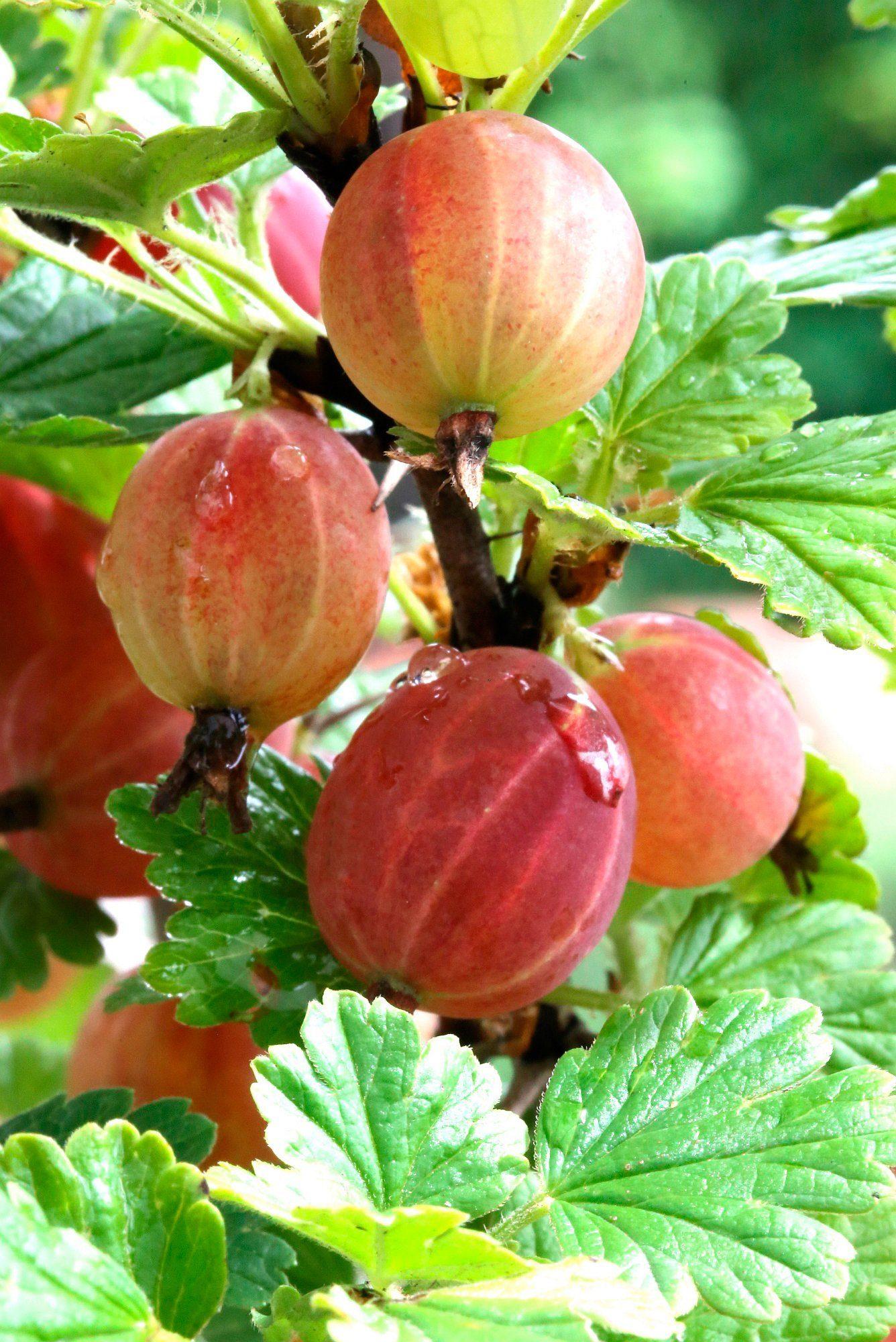 BCM Stachelbeere »Captivator«, Höhe: 30-40 cm, 2 Pflanzen