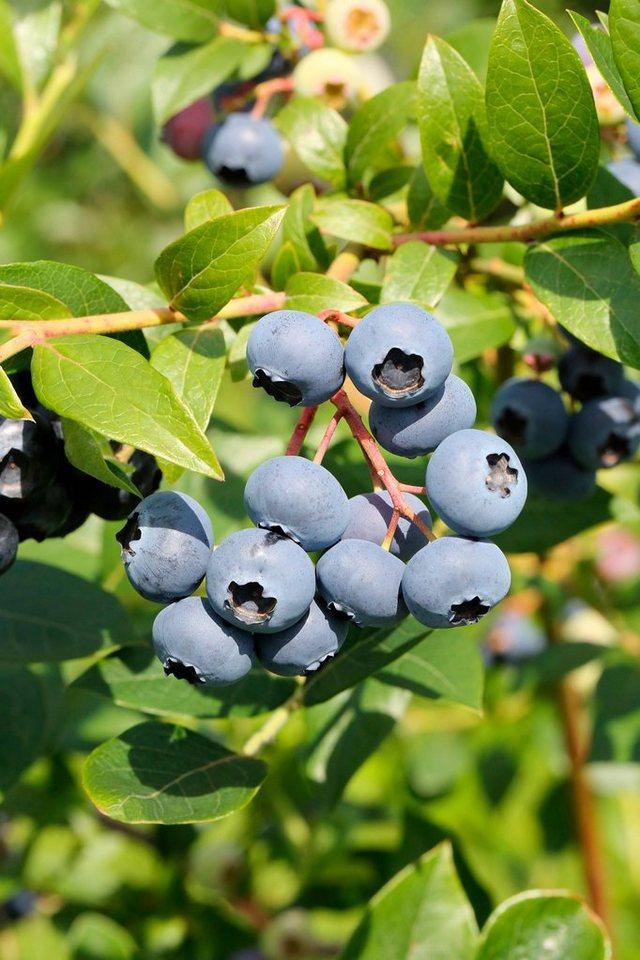 Bcm heidelbeere bluejay h he 70 cm 2 pflanzen otto for Heidelbeere pflanzen