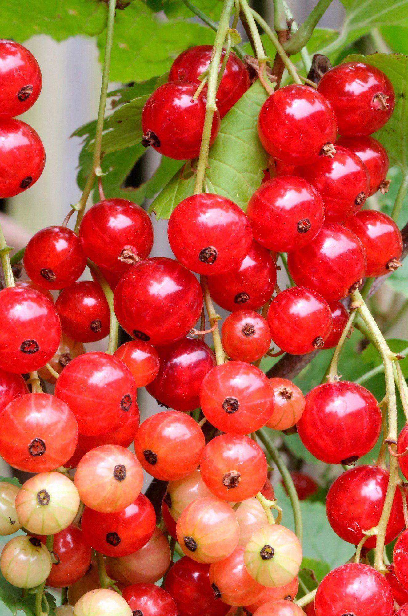 BCM Säulenobst »Rote Johannisbeere Stanza«, Höhe: 50 cm, 2 Pflanzen