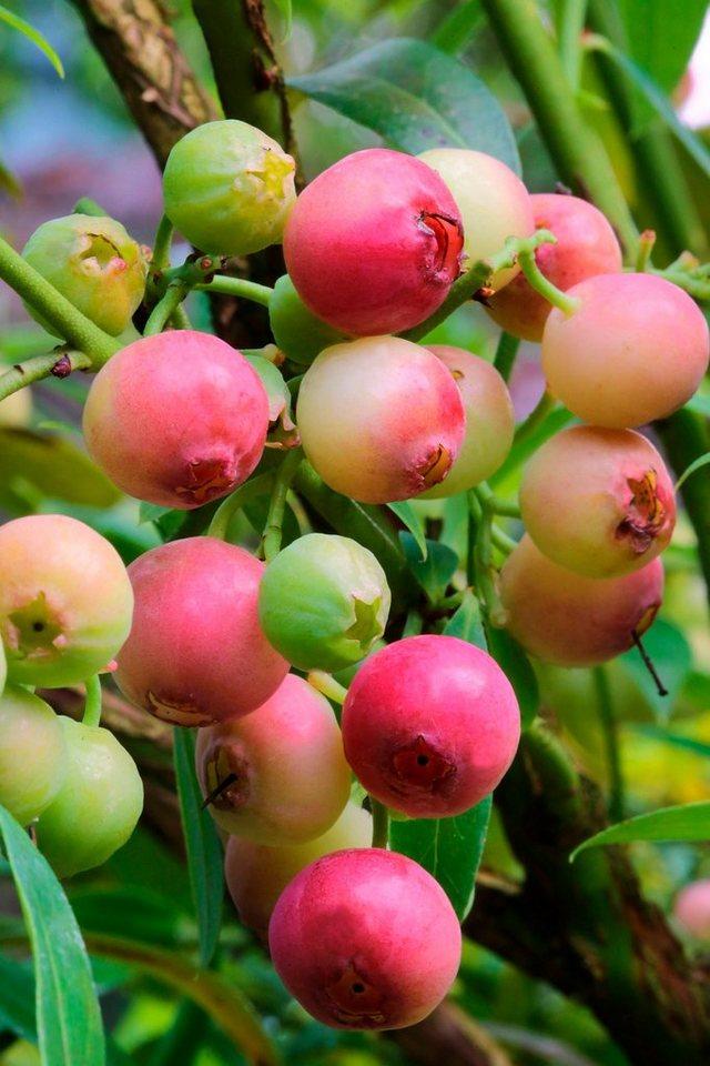Bcm s ulenobst heidelbeere pink limonade h he 50 cm 2 for Heidelbeere pflanzen