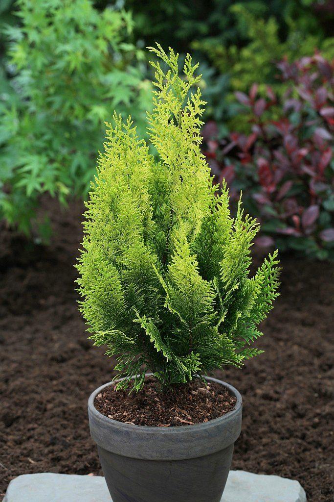 Hecke »Scheinzypresse Yvonne«, Höhe: 25-30 cm, 5 Pflanzen
