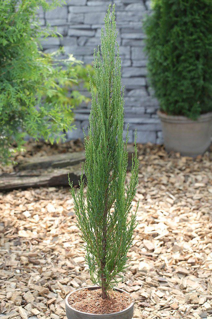 Hecke »Wacholder Blue Arrow«, Höhe: 60-80 cm, 2 Pflanzen