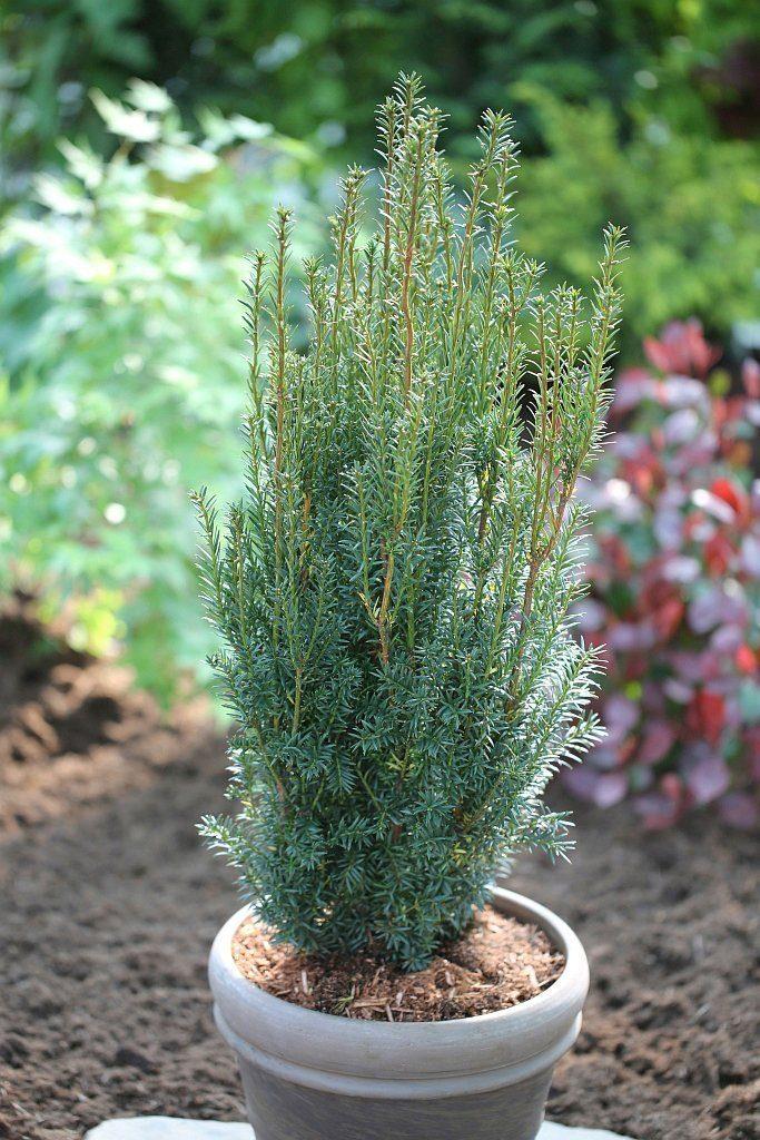 Hecke »Eibe Hillii«, Höhe: 20-25 cm, 5 Pflanzen