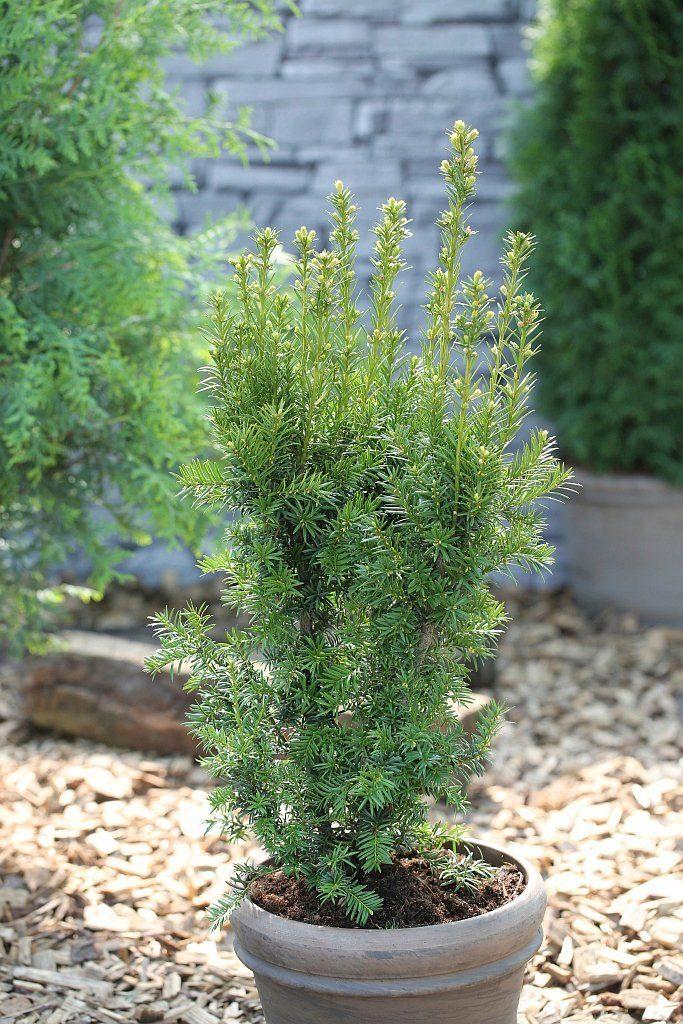 Hecke »Eibe Hicksii«, Höhe: 20-25 cm, 5 Pflanzen