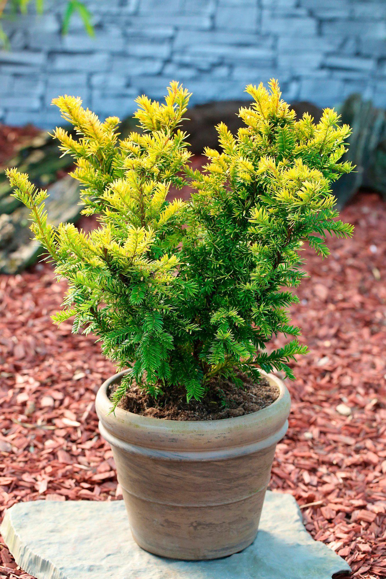 Hecke »Eibe Semperaurea«, Höhe: 15-20 cm, 10 Pflanzen