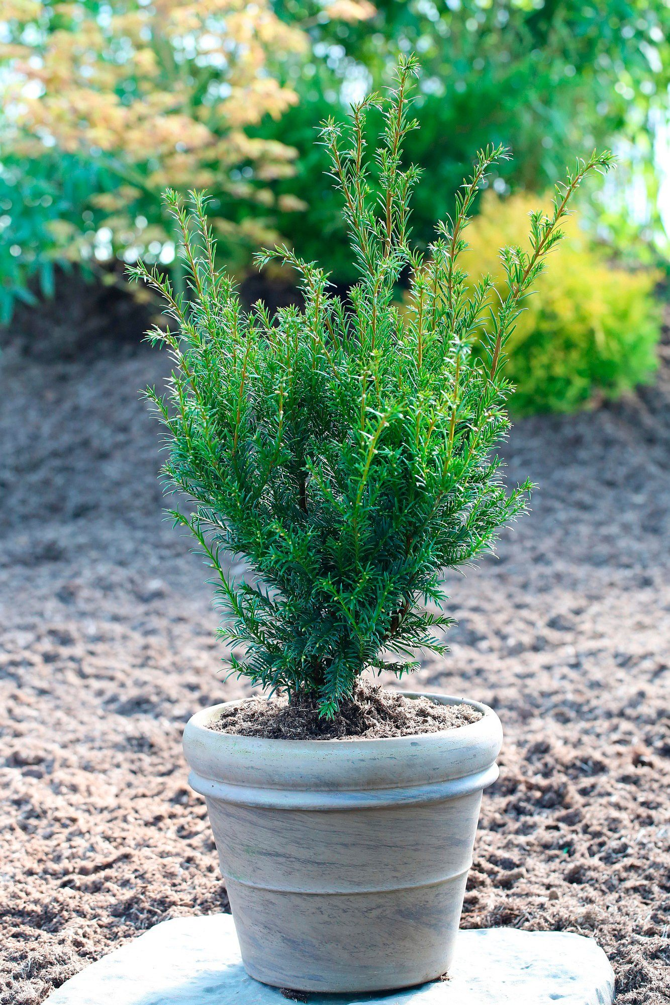 Hecke »Eibe Overeynderi«, Höhe: 20-25 cm, 5 Pflanzen