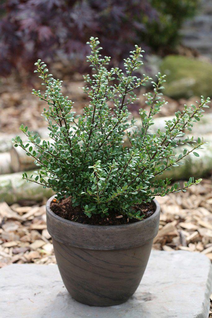 Hecke »Stechpalme Glory Gem«, Höhe: 20-25 cm, 3 Pflanzen