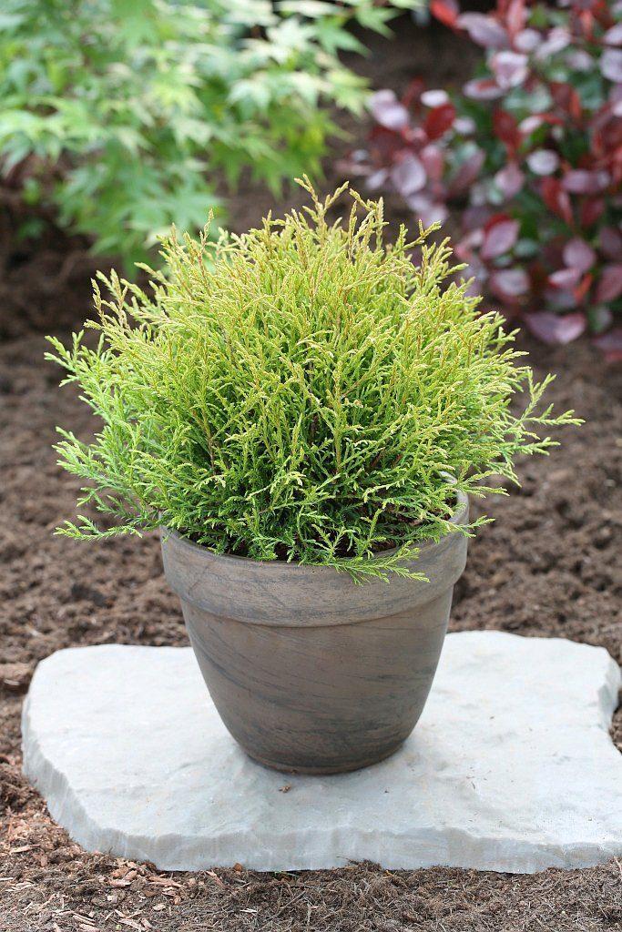 Hecke »Lebensbaum Mr. Bowling Ball«, Höhe: 30-40 cm, 1 Pflanze