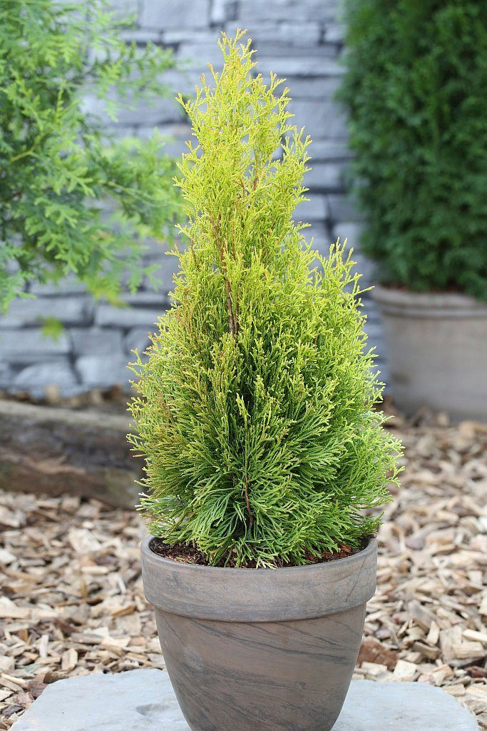 Hecke »Lebensbaum Golden Smaragd«, Höhe: 25-30 cm, 5 Pflanzen