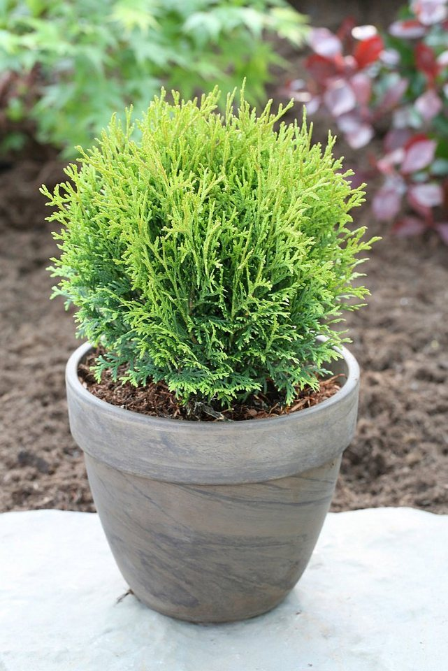 hecke lebensbaum tiny tim h he 15 20 cm 15 pflanzen. Black Bedroom Furniture Sets. Home Design Ideas