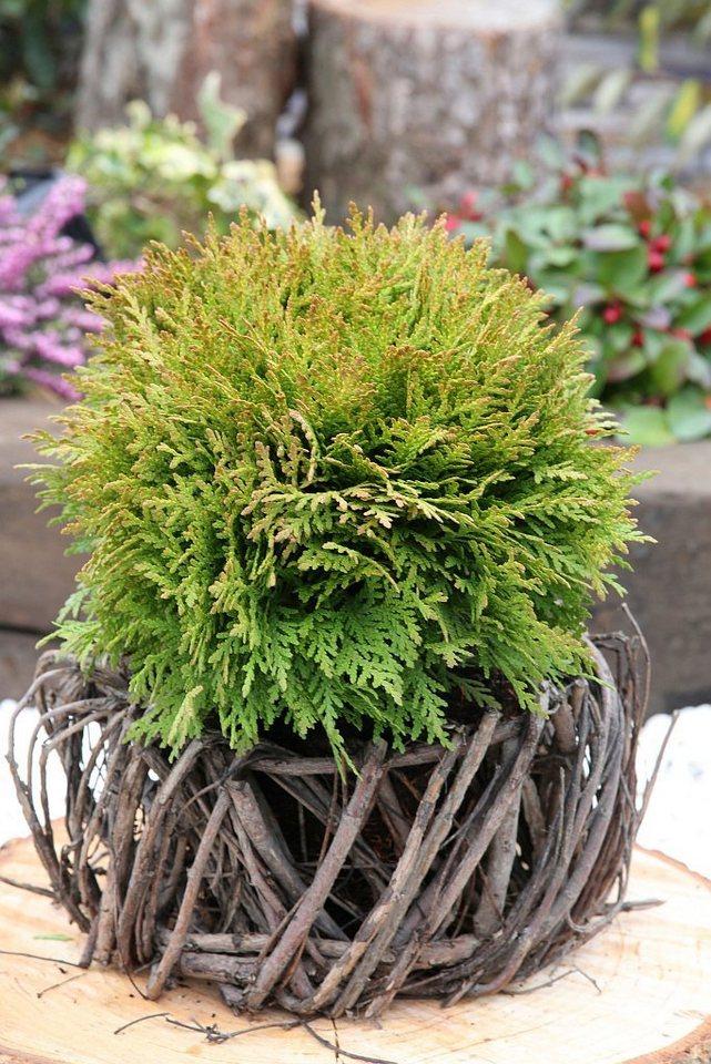 25 30 Www Bing Comhella O: Hecke »Lebensbaum Mirjam«, Höhe: 25-30 Cm, 2 Pflanzen