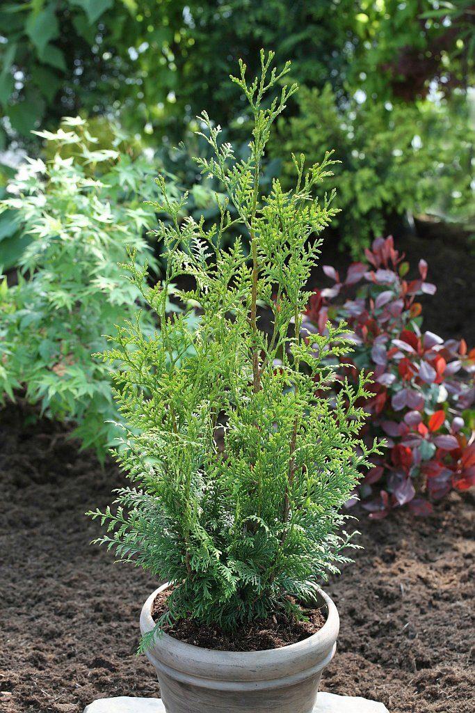 Hecke »Lebensbaum Gelderland«, Höhe: 60-80 cm, 3 Pflanzen