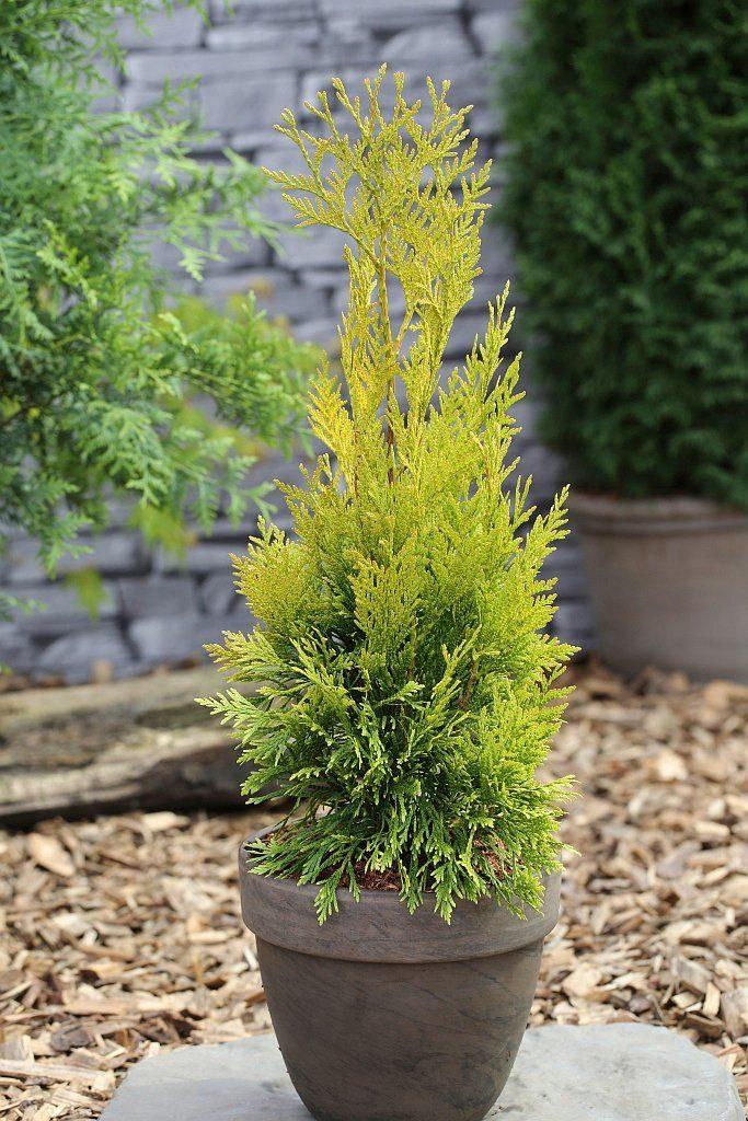 Hecke »Lebensbaum 4ever Goldy«, Höhe: 25-30 cm, 5 Pflanzen