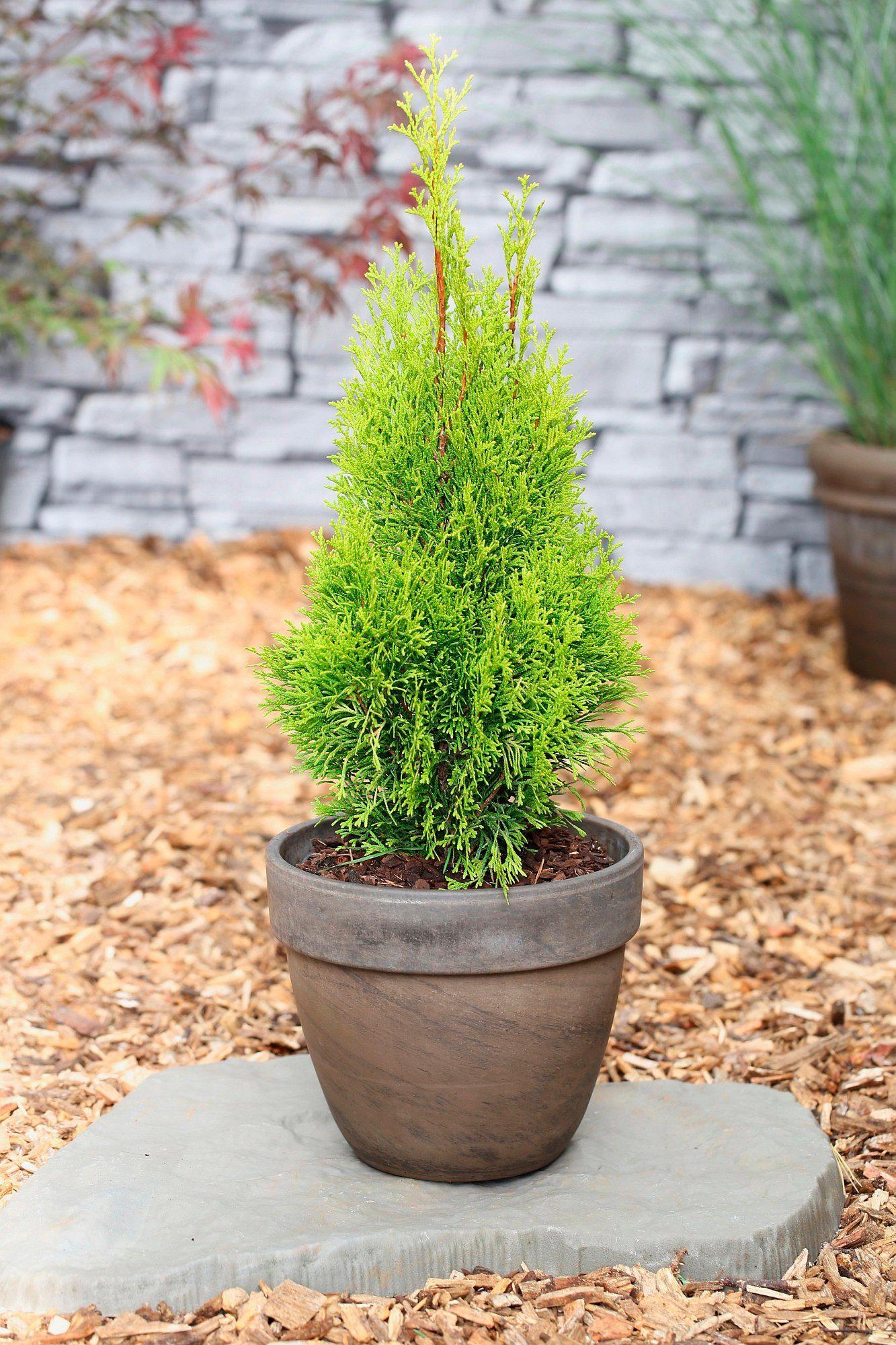 Hecke »Lebensbaum Smaragd«, Höhe: 80-100 cm, 3 Pflanzen