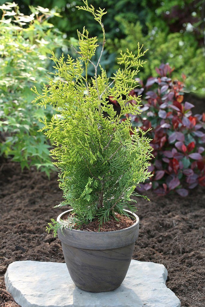 Hecke »Lebensbaum Golden Brabant«, Höhe: 60-80 cm, 2 Pflanzen