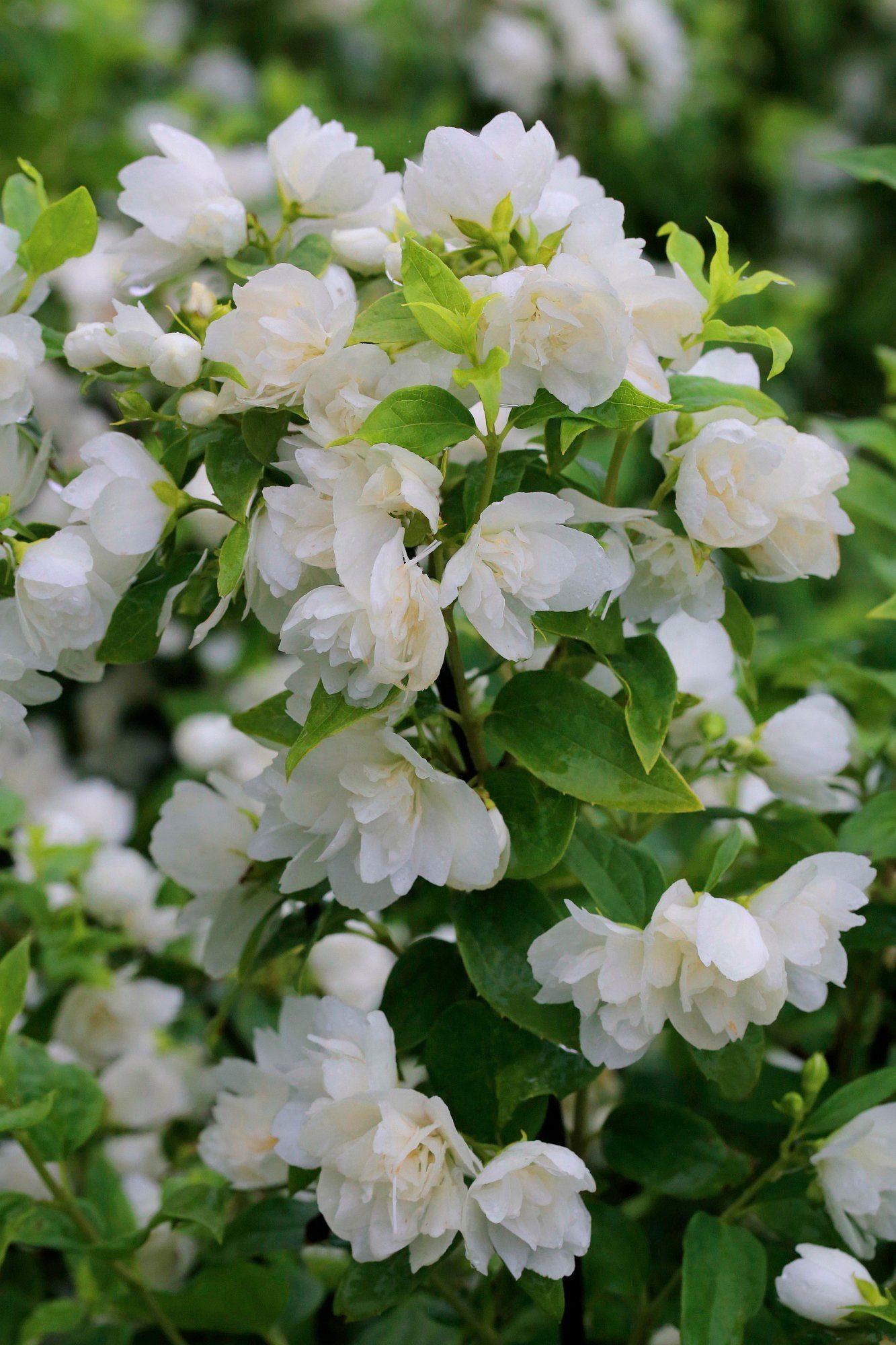 Hecke »Duft Jasmin Monteau d' Hermine«, Höhe: 30-40 cm, 5 Pflanzen