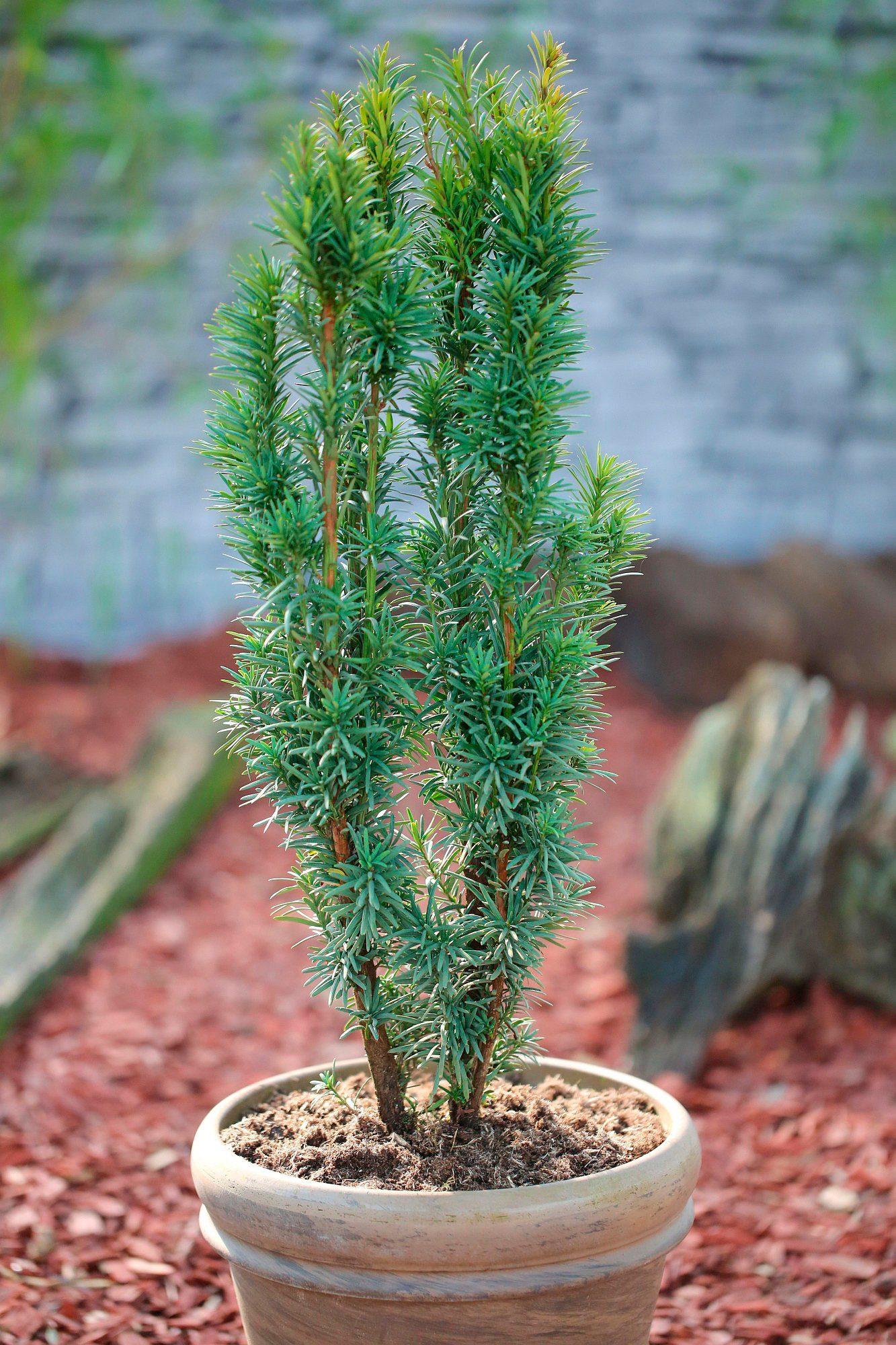 Hecke »Eibe Fastigiata Robusta«, Höhe: 30-40 cm, 9 Pflanzen